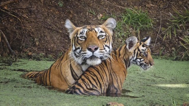 India: Tigers Face Extinction